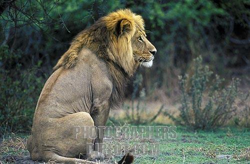 Lion Sitting Front