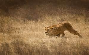 crouching lion
