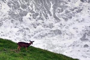 deer-at-oceans-edge